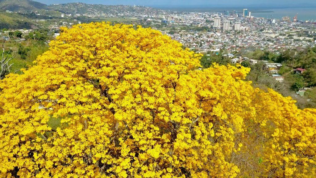 The Poui Tree of the Caribbean